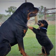 Rottweiler puppies sure are cute! These loving and loyal goofballs can make great pets. Thinking about bringing a Rottweiler puppy into your home? Here are a few things to know about these pups before you adopt. Rottweiler Love, Rottweiler Puppies, German Rottweiler, Cute Puppies, Cute Dogs, Dogs And Puppies, Doggies, Chihuahua Dogs, Baby Animals