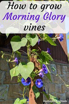 Morning Glory Plant, Morning Glory Flowers, Morning Glories, Growing Flowers, Growing Plants, Fresh Flowers, Planting Flowers, How To Plant Flowers, Flowers For Garden