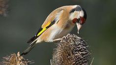 ★ When and What To Feed Wild Birds. (Photo: Goldfinch tucking into teasel seeds) Pond Life, Goldfinch, Mold And Mildew, Wild Birds, Bird Watching, Love Birds, Bird Houses, Bird Feeders, Wildlife