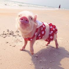 Teacup Piglets That Are Even Cuter Than Kittens | Beach Time