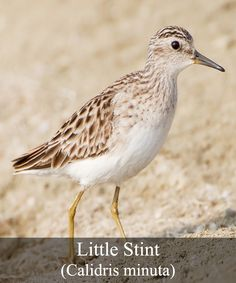 """The Little Stint is a 13 to 18 centimeter little wader bird is part of the Sandpiper family and is a rusty brown color over its breast, face and neck, with spots of black. Its back and wings are scale-brown and it has a white belly. The back also has an extremely distinctive white """"V"""" when the bird is in flight. Both sexes look similar and in winter the adult Stint changes in color to gray-brown streaks and dull brown wings and upper body parts. The Stint has black eyes and a dagger-like…"""