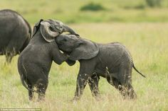 Adorable baby elephants captured play-fighting as their mother watched on in the Kenyan wild by Margot Raggett. This image forms a collection of photographs that will be used as part of an anti-poaching campaign in Kenya. Elephant Pictures, Baby Animals Pictures, Cute Baby Animals, Funny Animals, Elephants Playing, Save The Elephants, Baby Elephants, Baby Hippo, Baby Elephant Drawing