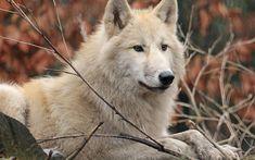 Download wallpapers white wolf, forest animals, predators, wildlife, wolves