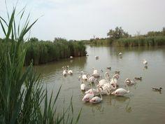 Flamingo in Camargue