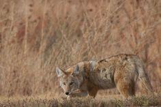 8 Mistakes Rookie Coyote Hunters Make Quail Hunting, Deer Hunting Tips, Deer Hunting Blinds, Turkey Hunting, Hunting Dogs, Hunting Stuff, Coyote Hunting Gear, Pheasant Hunting, Hunting Cabin