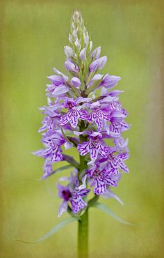 ~~Common spotted orchid by Jacky Parker Floral Art~~