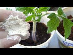 Vegetable Garden Design, Diet And Nutrition, Fruit, Vegetables, Plants, Youtube, Gardens, Sodas, Tomatoes