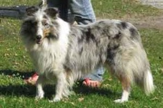 **LOST / REWARD** is an adoptable Shetland Sheepdog Sheltie Dog in Cincinnati, OH. On Friday, April 2, 2010, Ella (who lives in Detroit) was staying with relatives in Amherst, OH, while her owner was ...