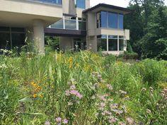 Prairie Gardens & Rain Garden Contractors in Wayne County, MI Prairie Garden, Wayne County, Rain Garden, Sustainability, Lawn, Grass, Wildlife, Landscape, Buffalo