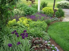 variegated Japanese irises. the Heuchera to the right echoes the purple shades. When the irises are done blooming the white striped foliage continues to contrast nicely next to the Heuchera. The fluffy yellow cloud behind the iris is good old-fashioned ladies mantle, and the purple behind that is salvia
