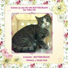 Pulled by Staten Island Hope Rescue* TO BE DESTROYED 4/30/15 *NYC* BEAUTIFUL, SCARED GIRL! * Brooklyn Center * Buttercream was displaying behaviors that preclude placement in the adoptions room and may require further investigation before placement in a home. She is extremely fearful and currently does not tolerate petting or handling. *   My name is BUTTERCREAM. My Animal ID # is A1033329. I am a female brn tabby and white dom sh mix. I am about 2 YEARS  I came in as a STRAY on 04/15/2015
