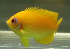 Lemonpeel Angel fish