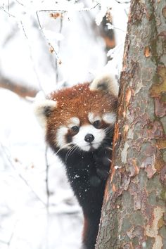 9aecfeb16 25 Best Our Red Panda - Jin images   Red pandas, Beautiful Creatures ...