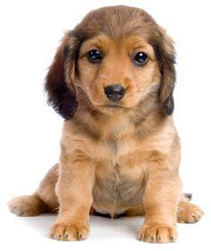 Americalovesdogs-com-miniature-long-haired-dachshund | ac4qt.com
