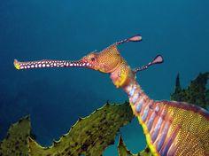 weedy seadragon  such precious relatives of our lovely seahorse treasures of the deep seas