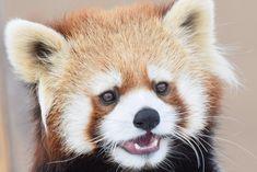 ギン red panda レッサーパンダ 円山動物園