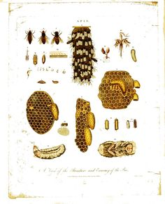 Animal - Insect - Bee, structure and economy of the bee, 18thC