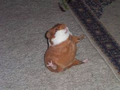 He was begging for some cilantro, lost his balance and fell on his butt. Picture taken at the perfect moment (Photo credit to guineapigcages member tabasco_piggy)