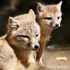 Protect swift foxes from the Keystone XL tar sands pipeline!