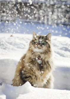 Maine Coon Cat...they love the snow. Their fur is four types, and one kind grows to the ground in winter. In summer they all fall out, leaving shorter fur again. I have one of these very smart cats. Even catches Hummingbirds, when I'm not around.
