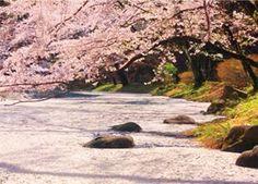 花筏 Pure~癒しの日本風景 2017年版カレンダー #桜 #花の写真