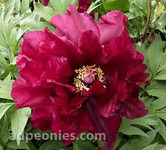 Iphigenia Peony One of the most dramatic tree peonies in our gardens; large deep red single with two rows of rounded petals surround a center of dark glossy black maroon flares; Plant Zones, Tree Peony, Peonies Garden, Hardy Perennials, Garden Show, Clematis, Permaculture, Horticulture, Shrubs