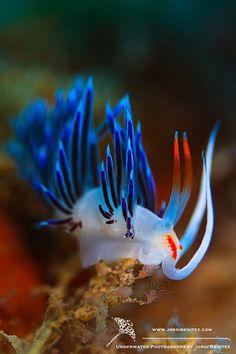 "Nudibranch/Sea Slug   (""Cratena peregrina | jordi benitez."")     Google search: ""Cratena peregrina, commonly called the ""pilgrim hervia"", is a species of sea slug, an aeolid nudibranch, a marine gastropod mollusc in the family Facelinidae.Wikipedia."""