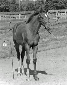 The legendary Triple Crown winner Secretariat looking just like any other gawky six-month-old colt.