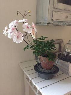 Jennysvitavillervalla.blogspot.se Lovely Zonartic Geranium Lara Majorie.