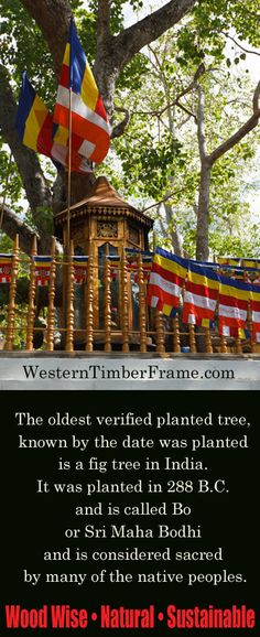 World's oldest planted tree. Wood facts from WesternTimberFrame.com. Pergolas, pavilions, gazebos, arbors, trellises, swings and more!