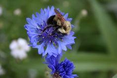 Cornflower - A Happy Bee! American Meadows, Bee, Bloom, Outdoors, Gardening, Happy, Flowers, Plants, Animals