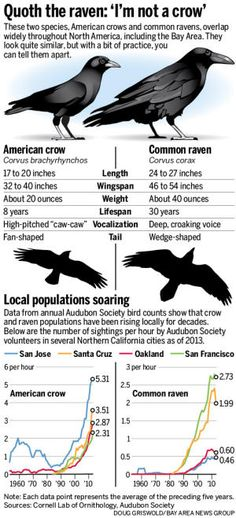 Crows, ravens overrun Bay Area - San Jose Mercury News Raven And Wolf, Raven Bird, Quoth The Raven, Pet Raven, Crow Or Raven, The Crow, Crow Bird, Beautiful Birds, Animals Beautiful