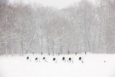 Japanese cranes walking (Andre Gilden) - from the Nature's Best Photography Competition via @washingtonpost