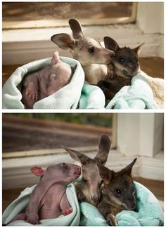 Remember that kangaroo and wombat who were best buds? Well, they added a wallaby to their crew.... Wallaby damned! THAT'S ADORABLE!