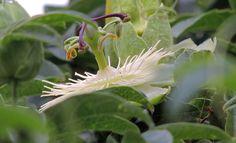 Flor de la pasión blanca (Passiflora caerulea o Pasionaria). http://www.elhogarnatural.com/Trepadoras.htm