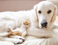 Show us a person who doesn't love a dog and cat friendship and we'll show you a person who doesn't love life. This inseparable pair are melting hearts everywhere! Old Golden Retriever, British Shorthair Kittens, Cat Scottish Fold, Tiny Cats, Six Month, Service Dogs, Doge, Cat Toys, Snuggles
