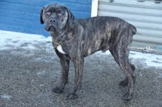 SAFE 1/30/14  Brooklyn Center    KING CONNER - A0990569  Pulled by Second Chance Rescue  Please honor your pledges: http://nycsecondchancerescue.org/donate/   **EMERGENCY EXPLORITORY SURGERY**   I am an unaltered male, black brindle Cane Corso mix. Original Thread: https://www.facebook.com/photo.php?fbid=748860295126852&set=a.617942388218644.1073741870.152876678058553&type=3&theater