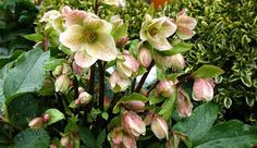"""Raising hellebores: """"Though buried under snow, hellebores survive to push flowers up through the last vestiges of winter's grasp to bloom in shades of white, yellow, purple, red or pink."""" Included in this article: varieties hardy to zone 3/ Canadian Gardening"""