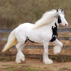 Gypsy Horse, aka Gypsy Cobs or Irish Cobs, are the most gorgeous animals on four legs! Most Beautiful Horses, All The Pretty Horses, Animals Beautiful, Cute Animals, Wild Animals, Big Horses, Cute Horses, Horse Love, Majestic Horse