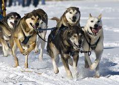 24th Annual Sled Dog Race Emily