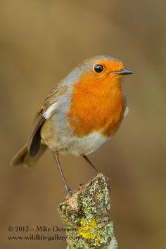 English Robin by Mike Dowsett, via 500px