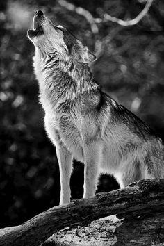 El aullido del lobo.