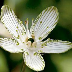 ~~ Large-leaf Grass-of-Parnassus, Parnassia grandifolia ~~