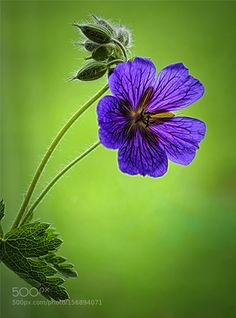 geranium stack by KymeWebster #nature #photooftheday #amazing #picoftheday