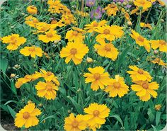 Tickseed/Lance-Leaved Coreopsis.Drought tolerant perennial.Will definitely be planting more next spring!
