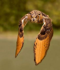Owl in flight wildlife photography
