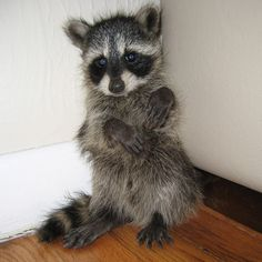 Naughty baby raccoon in the corner. This looks like my Bandit!!!! I love my coon.