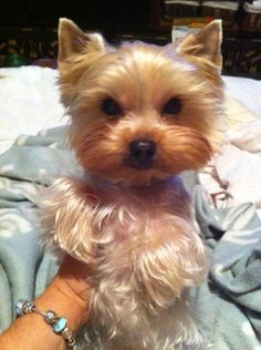 awww.....so pretty this lil yorkie!  <3