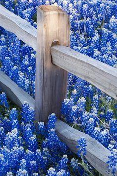 Beautiful Fields of Bluebonnets in Texas