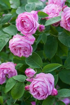 coupe d'hebe rose - Поиск в Google